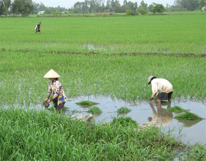 Unseasonal rains hurt Mekong Delta crops