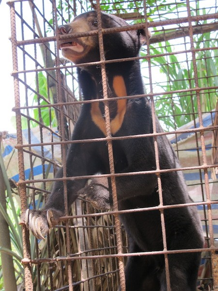 Bile farmers decimate wild bears