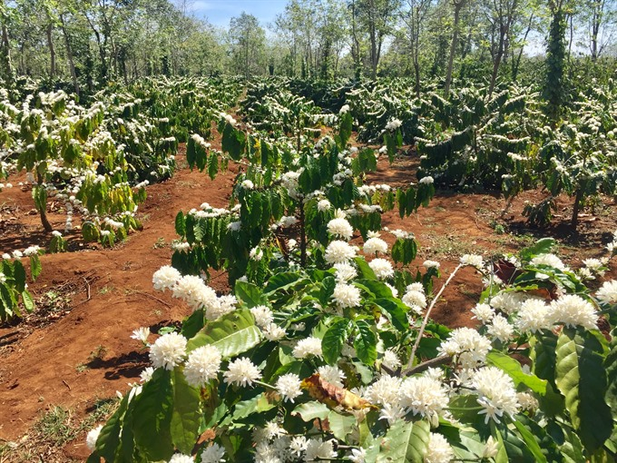 Project to develop Buôn Ma Thuột coffee benefits 15000 farmers