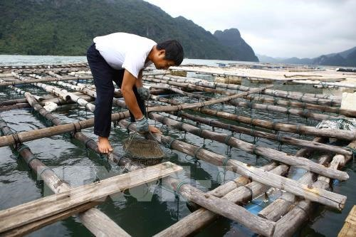 Clarify cause of oyster deaths: Quảng Ninh authority