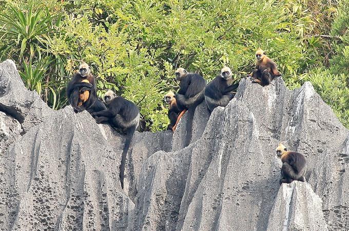 Cát Bà a sanctuary for endangered species