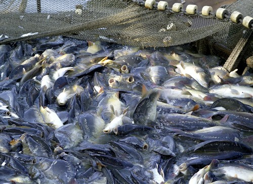 Govt issues tra fish rules