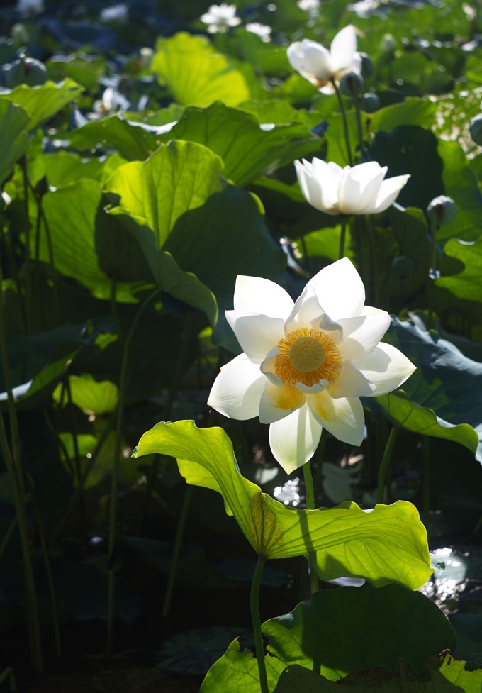 Blooming lotus enlightens Huế summer