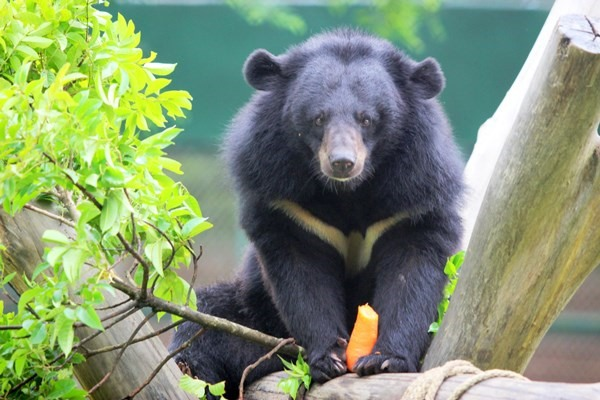 Việt Nam commits to better bear preservation