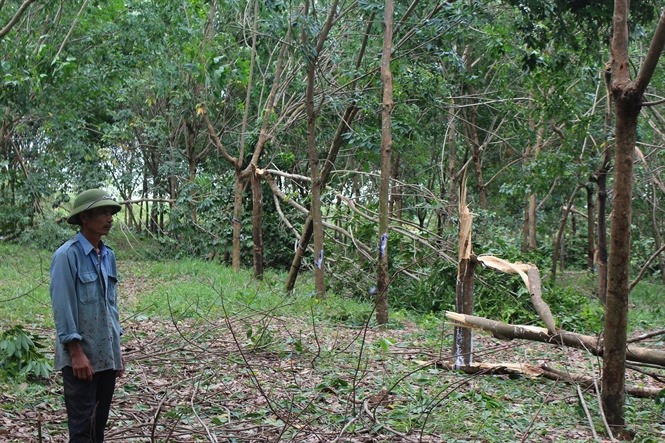 Rubber plantations destroyed by storm