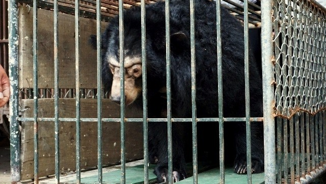 Microchips re-implanted in 200 captive bears in Hà Nội