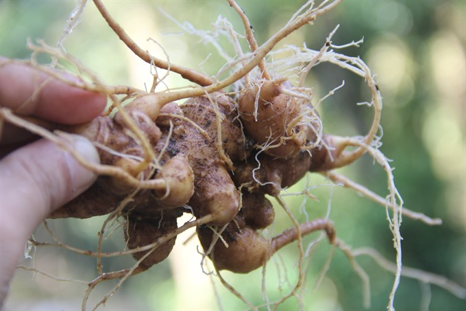 Testing centre proposed to tackle Ngọc Linh ginseng