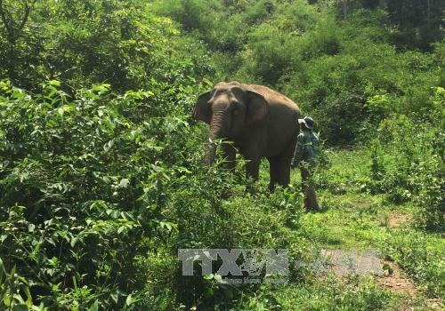 Wild and tame elephants in Đắk Lắks clash for food