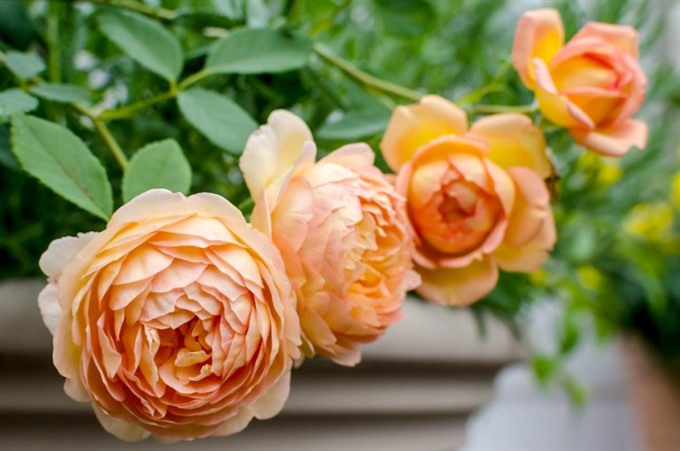 Roses festival to welcome visitors in October