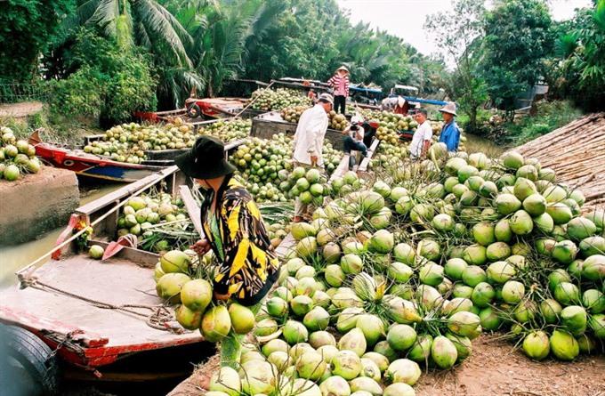 Coconut farming languishing