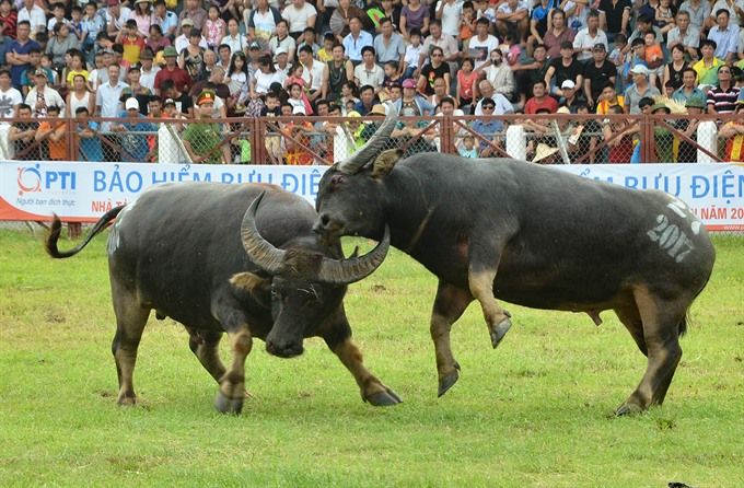 Đồ Sơn Buffalo festival should be protected: experts