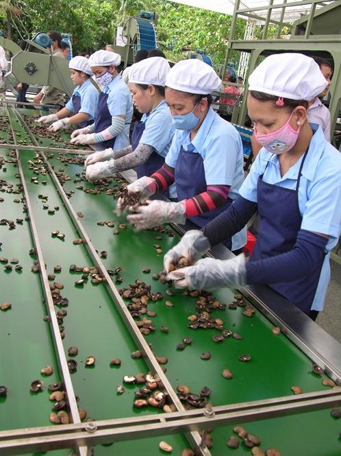 Cashew industry lowers export goal