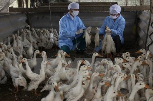 An Giang develops advanced poultry breeding model