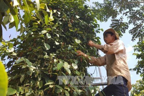 Pepper of Lâm San Agricultural Cooperative meets EU organic standards