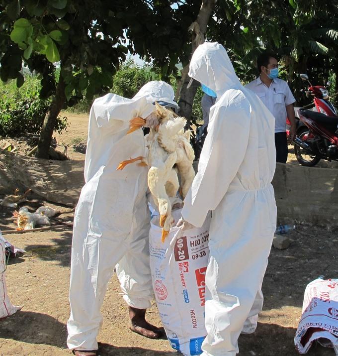 Đắk Lắk culls 2500 ducks infected with A/H5N6 avian flu virus