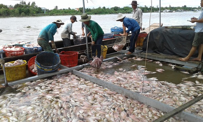 Over 160 tonnes of caged fish die in Tiền Giang