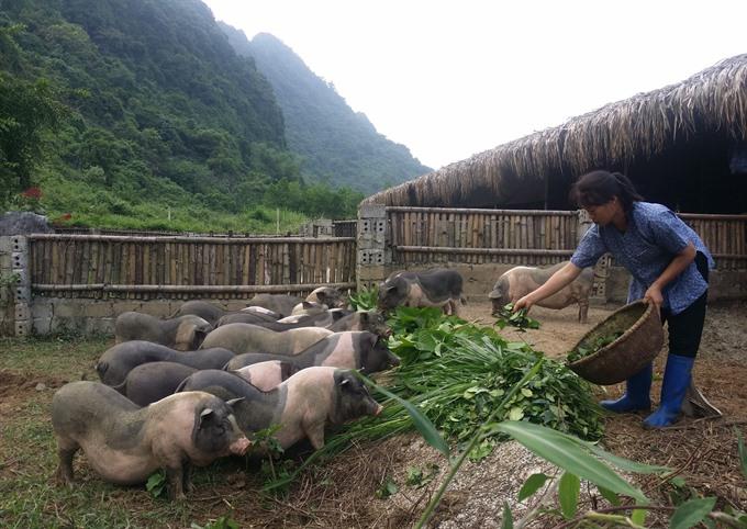 Tea pork farm makes a big hit in Ninh Bình
