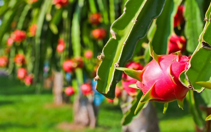 Dragon fruit prices hit rock bottom