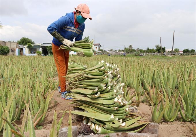 Ninh Thuận farmers strike it rich with aloe vera