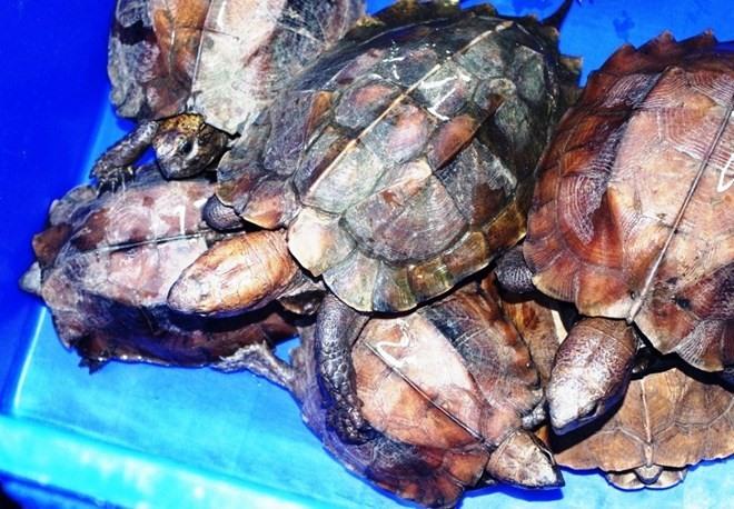 Endangered turtle trafficking under investigation