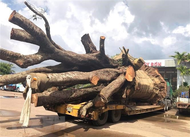 Truck carrying giant tree fined for overloading