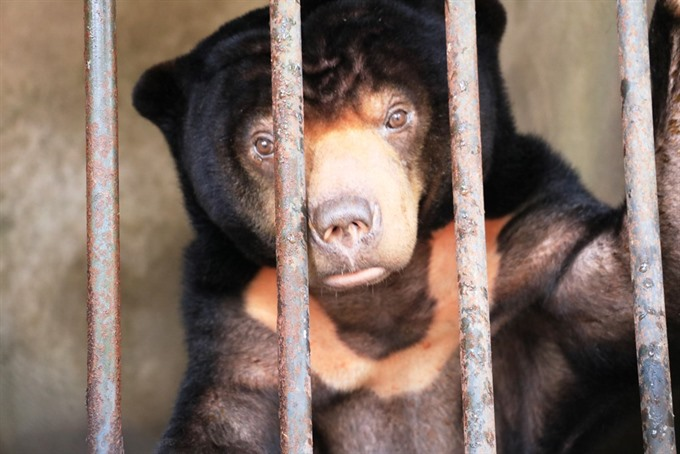 Sun bear in Tây Ninh rescued after 15 years in captivity