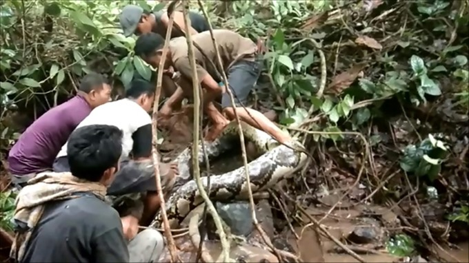 Great snakes Indonesians wrestle with giant python