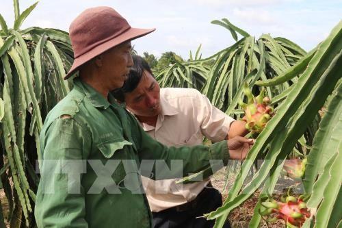 Bình Thuận expands area under VietGAP-quality dragon fruit
