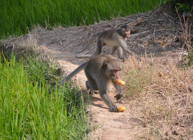 Monkeys destroy Sóc Trăng crops attack residents