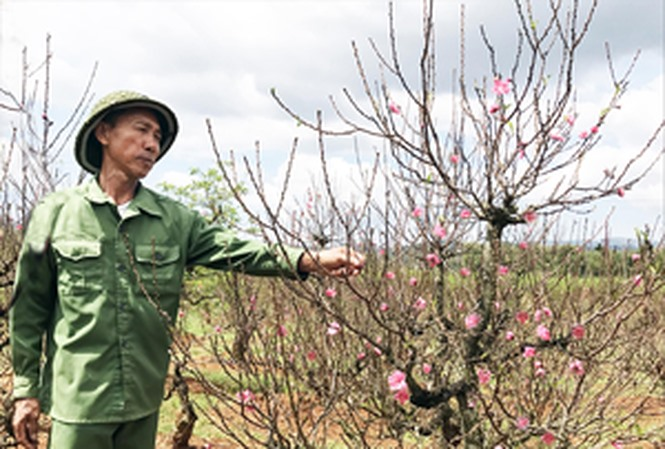 West Lakes famed peach blossoms on the move