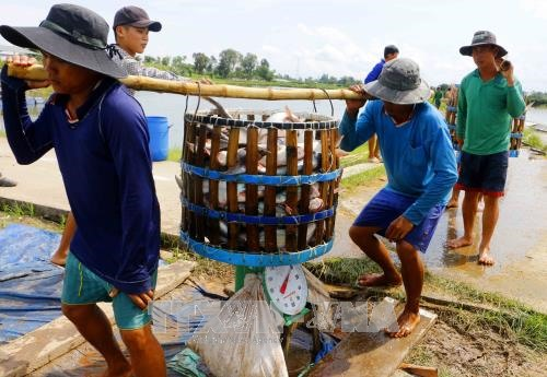 Tra fish prices high on low supply processers face shortage