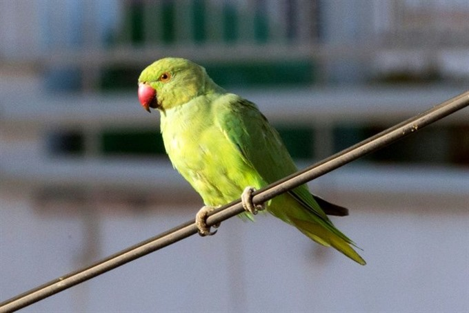 Pretty polly or pests? Dutch in a flap over parakeets