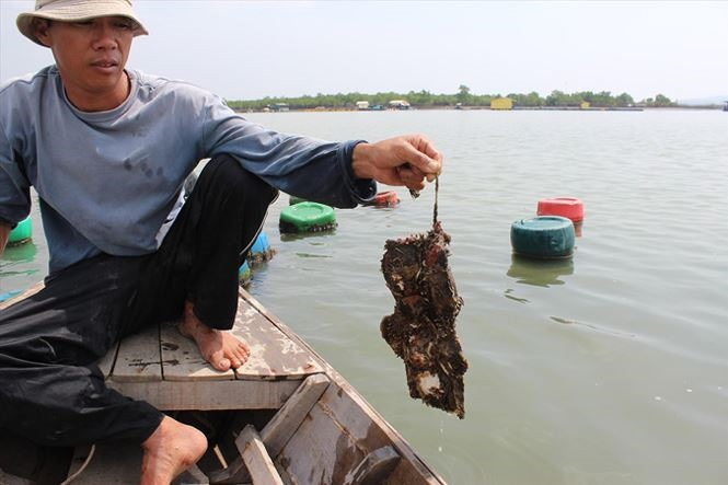 Raising oysters with fiber cement roofing sheets be dangerous: experts