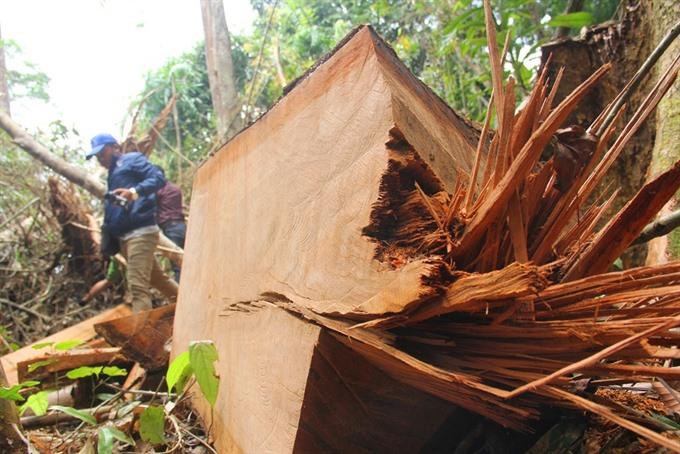 Illegal logging bedevils central provinces