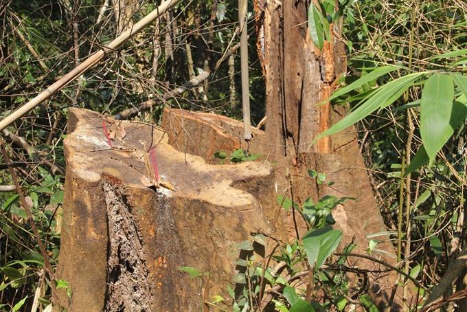 Illegal logging uncovered in Quảng Nam Province