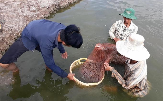 Low quality prawns trouble farmers