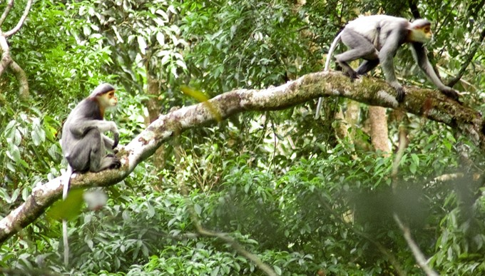 Central province to launch urgent protection of endangered langurs
