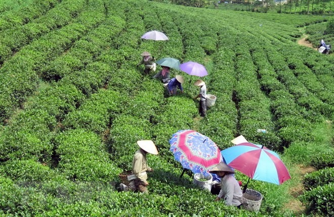 Low quality lack of brands hinder tea exports