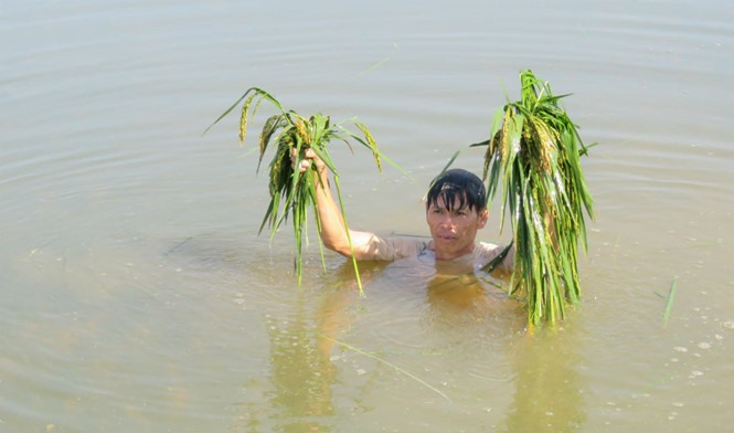 Rains submerge hundreds of hectares of rice fields