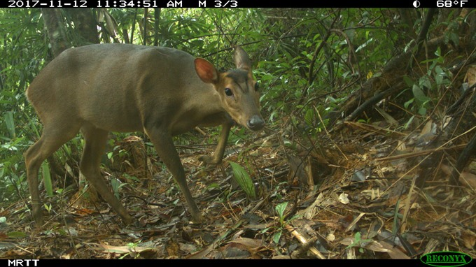 Large-antlered muntjac recorded by camera trap in Quảng Nam