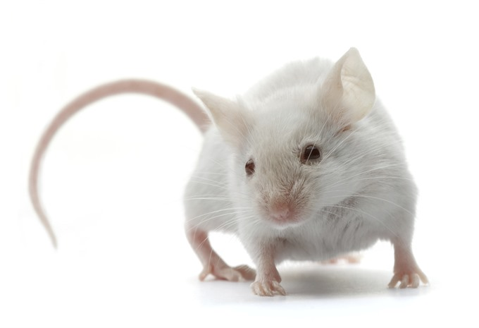 No sperm or egg required: mouse proto-embryo made in the lab