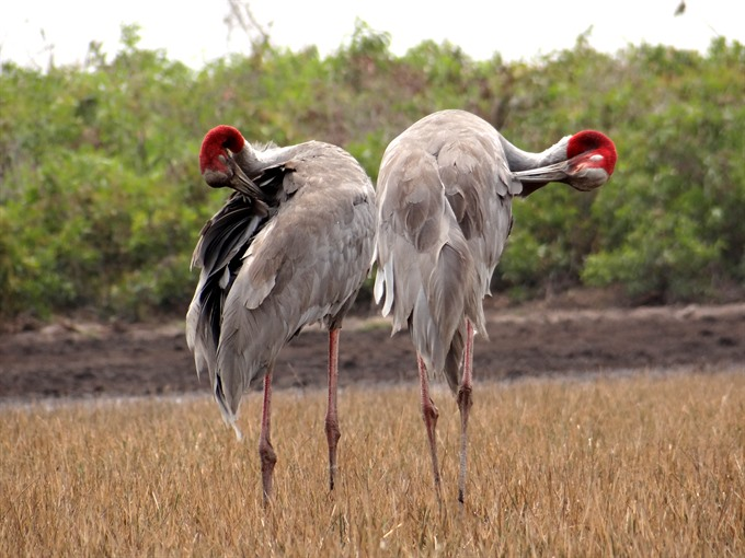 Saving the wetlands and a home for cranes
