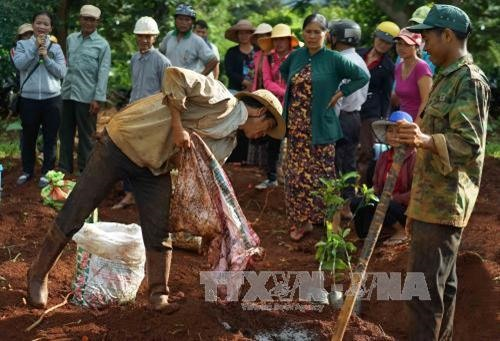 Highlands provinces replant old coffee trees with quality varieties