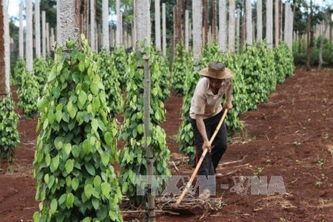 Central Highlands pepper growers in debt as prices fall
