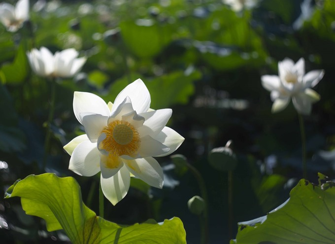 Huế holds event honoring lotus flower