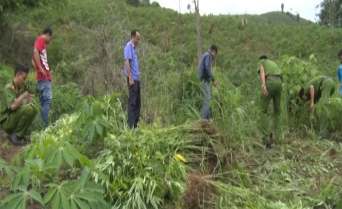 Cannabis garden destroyed in Tây Nguyên Province