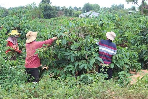 Gia Lai replaces old coffee trees with new trees