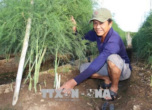 Green asparagus offers high profits for Ninh Thuận farmers