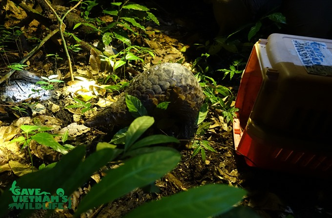 Endangered pangolins returned to the wild
