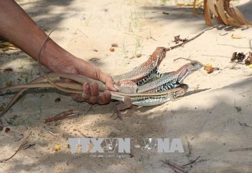 Ninh Thuận farmers profit from raising butterfly lizards for meat
